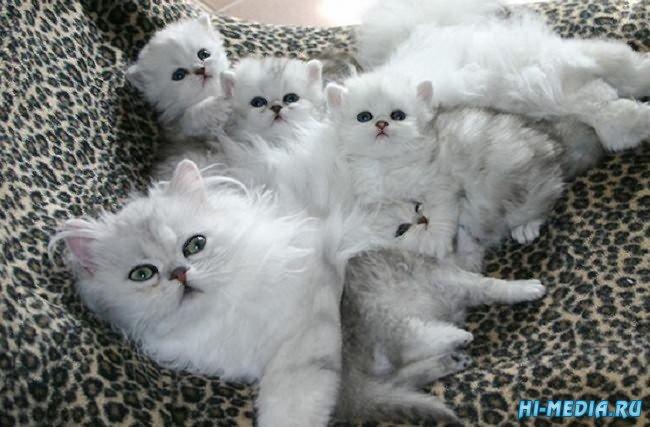 20 умилительных фотографий мамочек-кошек с очаровательными котятами